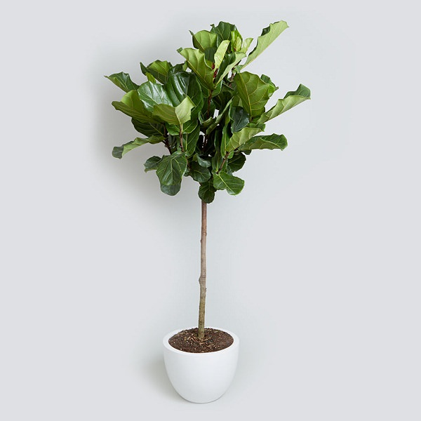fiddle_leaf_fig-tall-houseplants