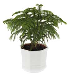 norfolk-island-pine-tree